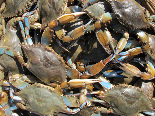 Seafood commercial fishing for Blue crab fishing