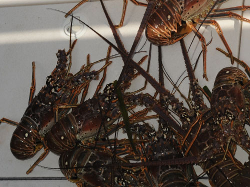 Spiny Lobster (Florida)