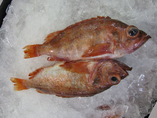 Acadian Redfish (ocean perch)