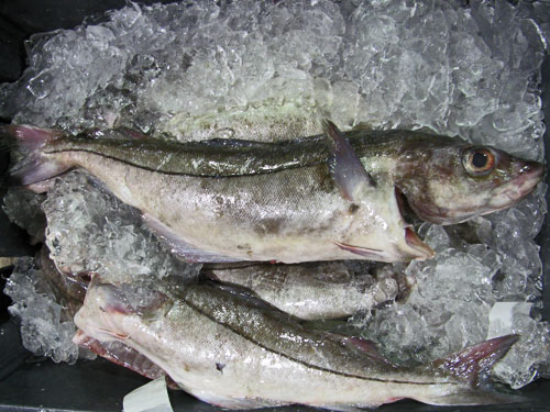 Atlantic Haddock