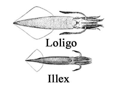 loligo and illex squid