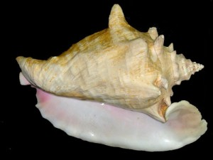 queen conch (Strombus gigas)