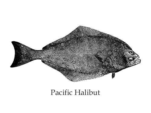 pacific halibut