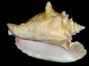 queen conch (Strombus gigas)