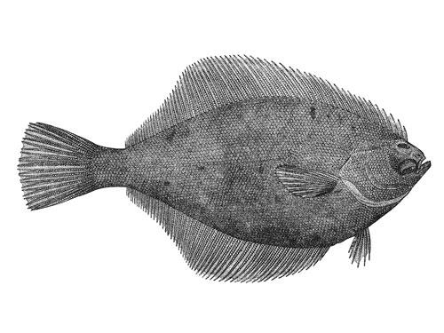 vintage yellowfin sole illustration