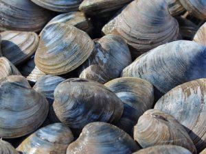 quahog clams